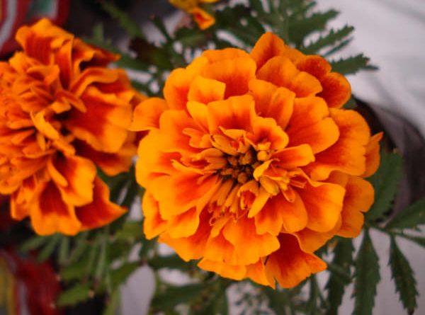 Feira de Flores traz a beleza de Holambra ao Maxi Shopping